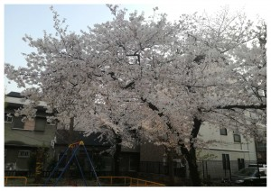 sakura写真